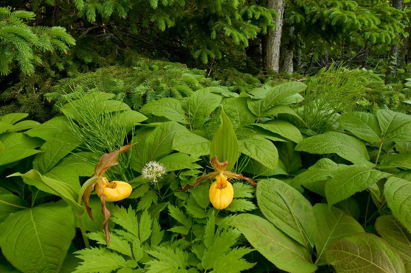 9013-Yellow Lady's slipper in habitat (Cypripedium calceolus var pubescens)