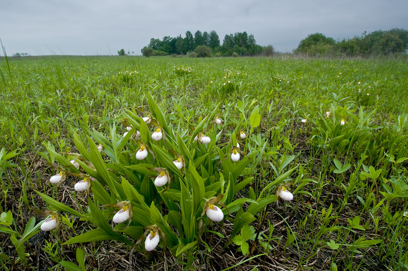 8049-White Lady's slipper in prairie (Cypripedium candidum)