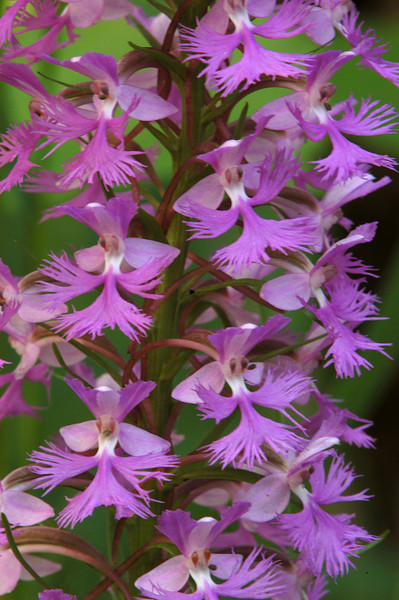 4005-Small Purple Fringed Orchids ( Platanthera psycodes)