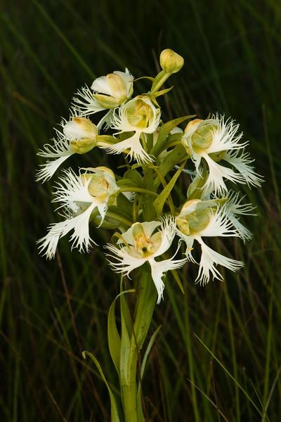 OWF-10001: Western Prairie Fringed Orchid (Platanthera praeclara)
