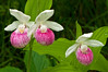 OSL-11021: Showy trio (Cypripedium reginae)