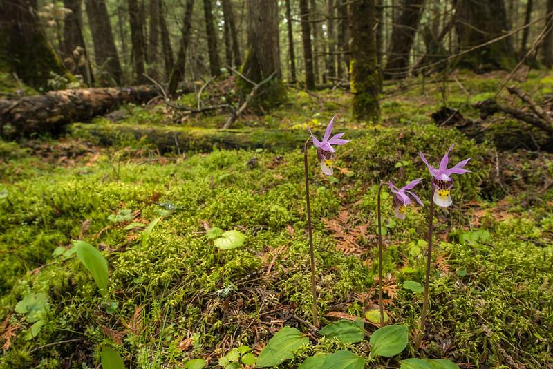 Calypso Orchid environmental