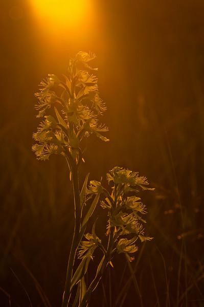 OWF-10009: Setting sun on prairie orchids (Platanthera praeclara)