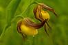 OYS-11023: Yellow Lady's slipper pair (Cypripedium calceolus)
