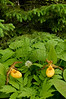 9014-Yellow Lady's slipper in forest (Cypripedium calceolus var pubscens)