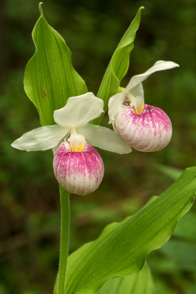 Showy Lady's slipper pair