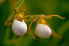 OWS-11003: White Lady's slipper (Cypripedium candidum)