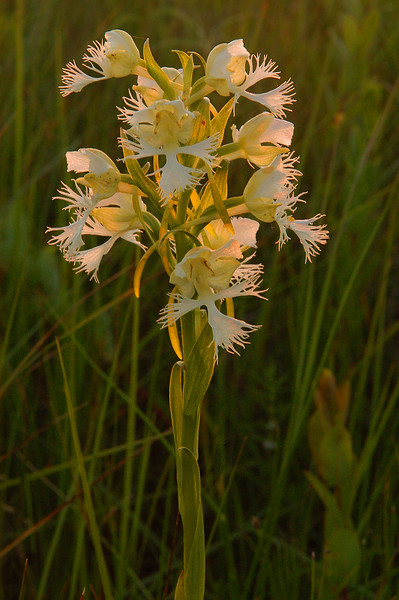 5030-Setting sun on Western Prairie Fringed Orchid (Platanthera praeclara)