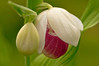 OSL-11022: Emerging Showy's (Cypripedium reginae)