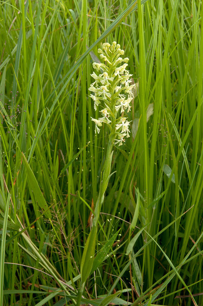 ORC-11035: Ragged fringed-orchid in habitat (Platanthera lacera)