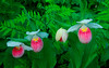 S002-Four Showy Lady's slippers (Cypripedium reginae)