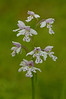 ORL-11001: Small Round-leaved Orchis (Amerorchis rotundifolia)