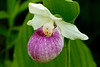 OSL-10001: Showy Lady's slipper (Cypripedium reginae)