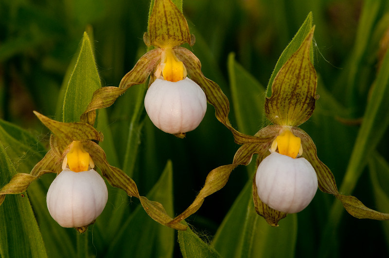 OWS-10018: White Lady's slippers (Cypripedium candidum)