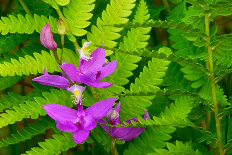 OCP-6008-Calopogon and ferns ((Calopogon tugerosus)