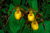 S005-Small Yellow Lady's slipper trio (Cypripedium calceolus var parviflorum)