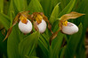 OWS-11010: White Lady's slipper trio (Cypripedium candidum)