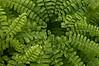 MLA-9006: Maidenhair Fern (Andiantum pedatum)