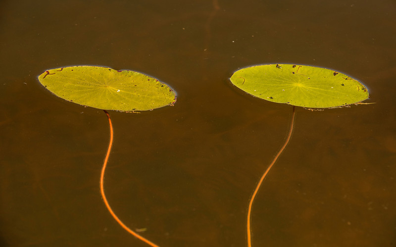 BOT-13-121: Pond Lily's