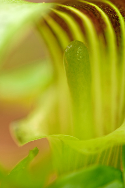 BOT-10017: Jack-in-the-Pulpit (Arisaema tryphyllum)