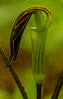 Jack-in-the-Pulpit close-up