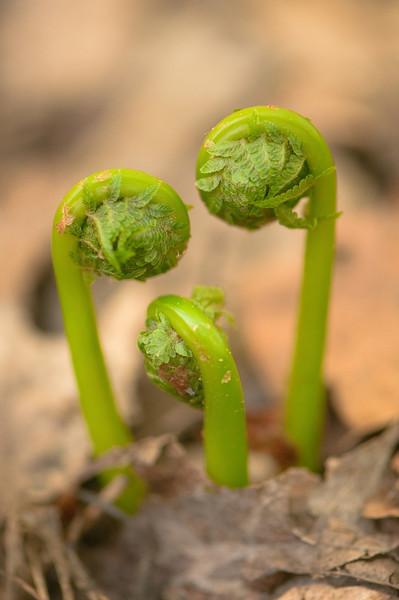 BOT-10004: Fiddlehead ferns emerging for forest floor