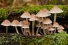 BOT-10059: Common Mycena grouping (Mycena galericulata)