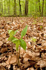 BOT-10010: Jack-in-the-Pulpit habitat (Arisaema tryphyllum)