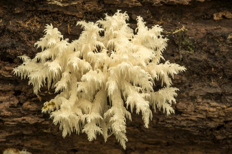 Lions Mane fungi