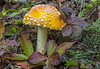 Amanita mascaria on the forest floor