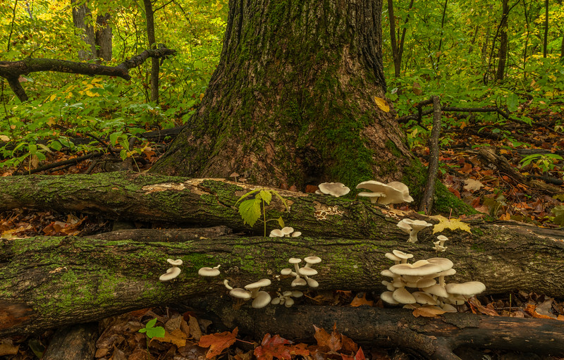 Oyster mushrooms in their environment
