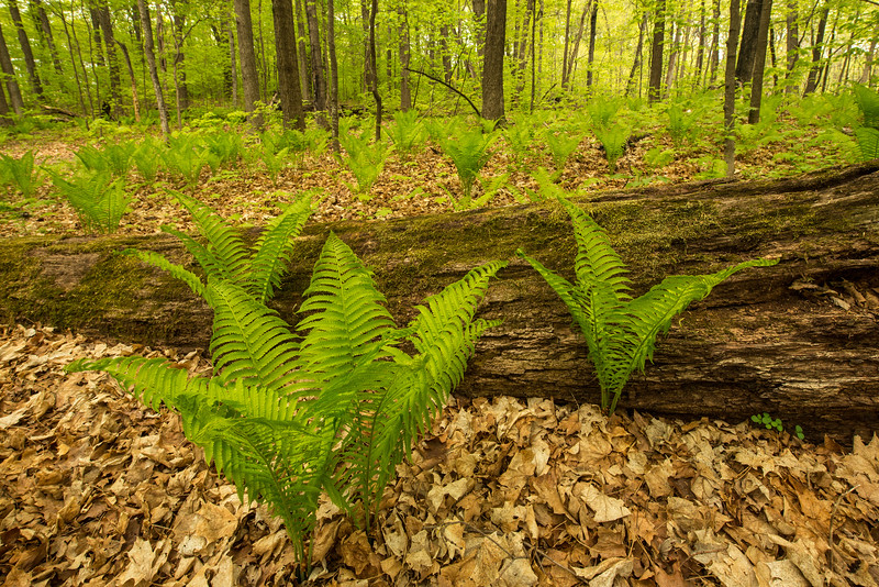 Ostrich Ferns environmental