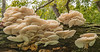 Oyster mushroom grouping