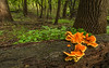 Chicken of the Woods mushrooms environmental