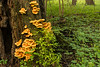 Chicken of the Woods environmental