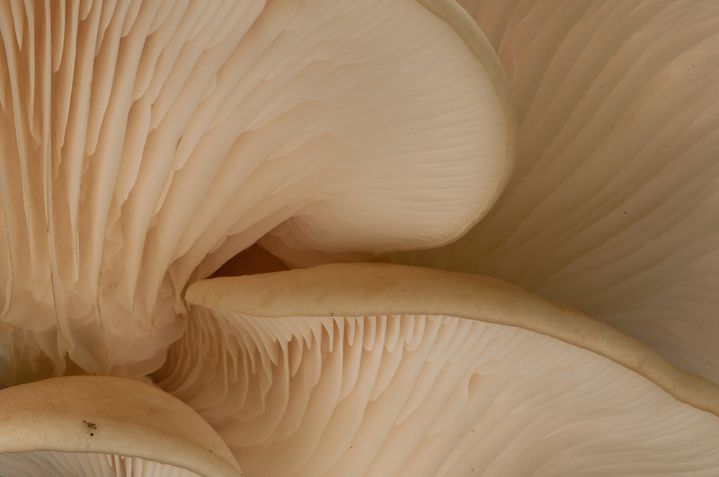 BOT-11013: Oyster mushroom close-up (Pleurotus ostreatus)