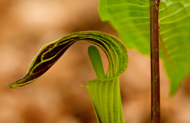 BOT-10008: Jack-in-the-Pulpit (Arisaema tryphyllum)