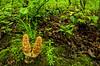 BOT-13-6: Morel Mushrooms in habitat
