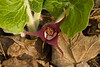 7006-Wild Ginger Flower (Asarum canadense)