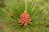 BOT-13-21: Early stages of a Red Pine cone