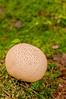 BOT-10035: Giant Puffball (Bovista pila)