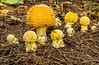 Amanita mascaria grouping