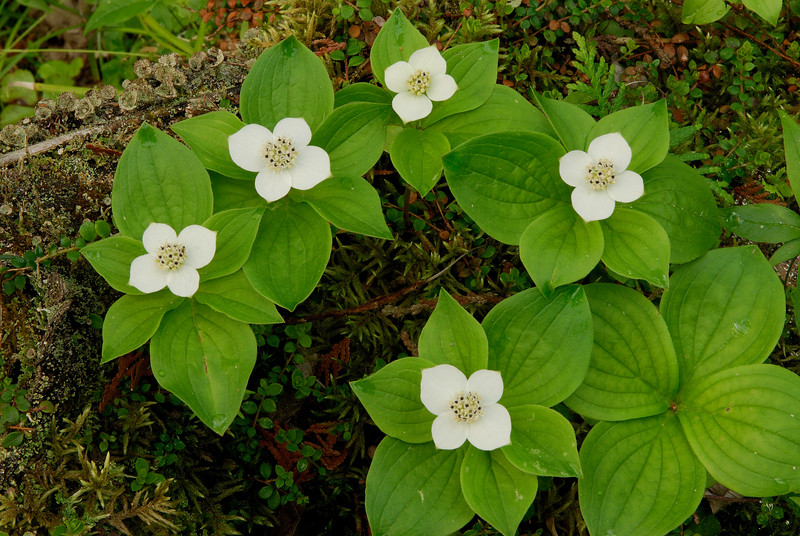 6020-Bunchberry blossoms (Cornus canadensis)