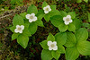 6020-Bunchberry blossoms (Cornus canadensis)