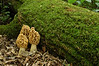 4006-Morel trio and moss covered log (Morchella esculenta)