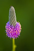 FLWR-10083: (Petalostemum purpureum)