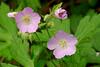 5001-Wild Geraniums (Geranium maculatum)