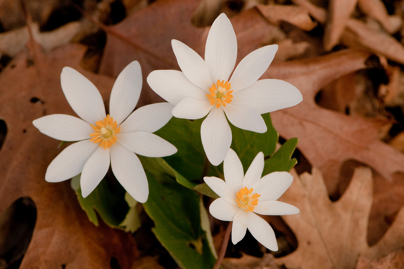 FLWR-10024: Bloodroot trio (Sanguinaria canadensis)