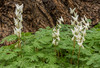Dutchman Breeches by Maple Tree