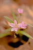 FLWR-11045: Spring Beauty (Claytonia virginica)